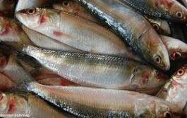 همه چیز درباره ماهی ساردین