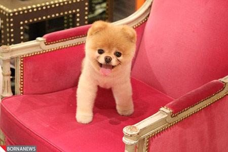 «بو» مشهورترین سگ جهان درگذشت